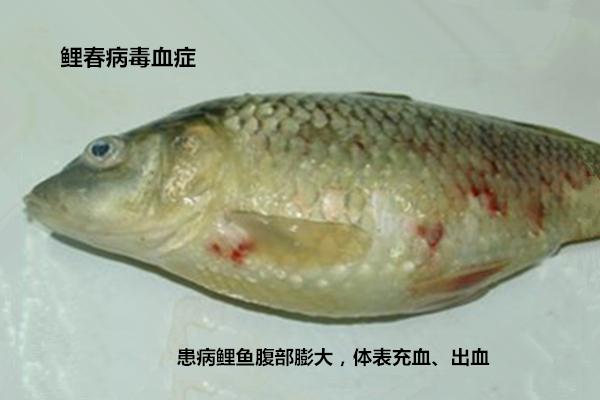 鲤春病毒血症